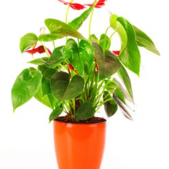 Send Anthurium plant to Ukraine
