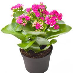 Send kalanchoe to Ukraome