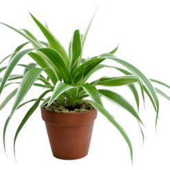 Send Chlorophytum to Ukraine